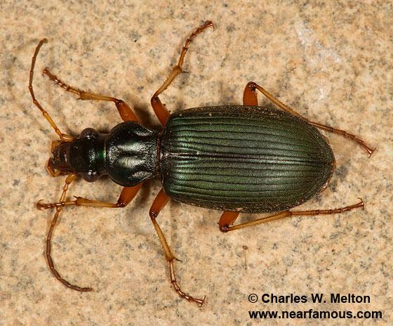 Chlaenius leucoscelis