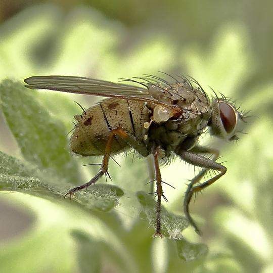 fruit fly? - Coenosia tigrina