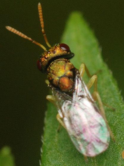 pteromalid wasp - Halticoptera - male