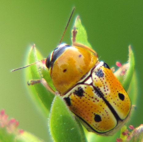 Insect on Plumbago plant - Griburius larvatus