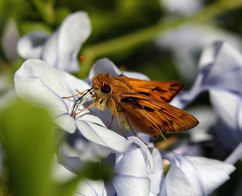 some kind of skipper - Hylephila phyleus - male