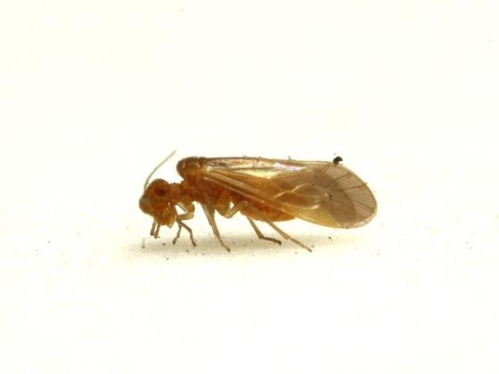 Valenzuela gonostigma Enderlein 1906 - Valenzuela gonostigma - female