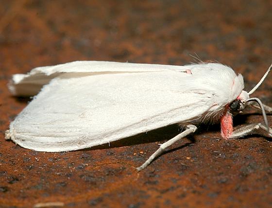 Moth - Euchaetes elegans - female