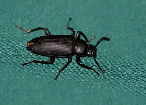 Darkling Beetle (Zophobas morio)  - Zophobas atratus