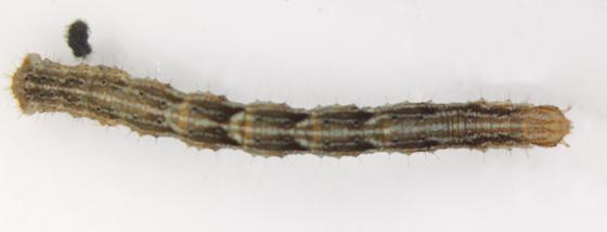 Geometridae, larva - Pleuroprucha insulsaria