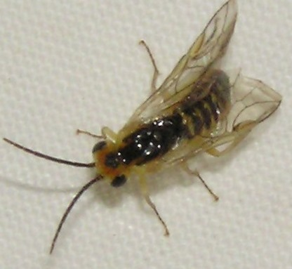 Sawfly - Pristiphora chlorea
