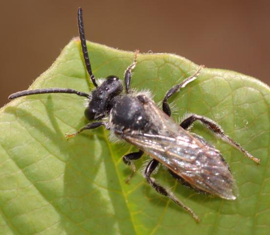 Bee - Andrena wilkella - male