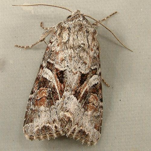 1206b Trichordestra liquida - A Cutworm Moth 10308 - Trichordestra liquida