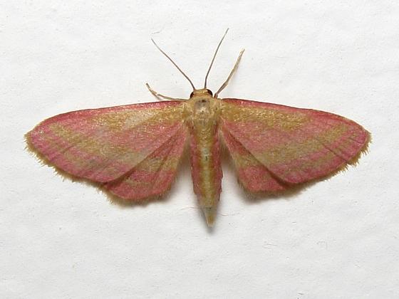 Raspberry Wave Moth - Hodges #7177 - Leptostales laevitaria