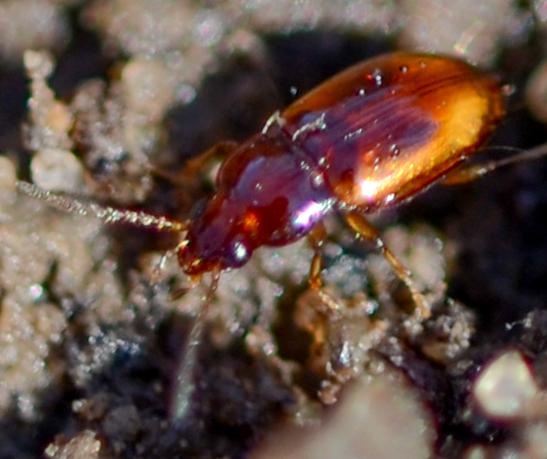 tiny ground beetle Elaphrophus? - Elaphropus