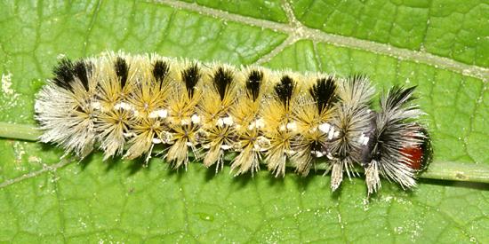 Caterpillar - Ctenucha virginica