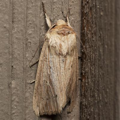 Adjutant Wainscot Moth - Hodges #10456 - Leucania adjuta