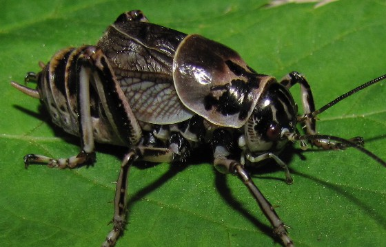 cricket - Cyphoderris monstrosa - male