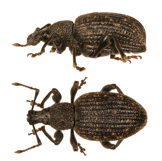 Any help with weevils - Otiorhynchus sulcatus