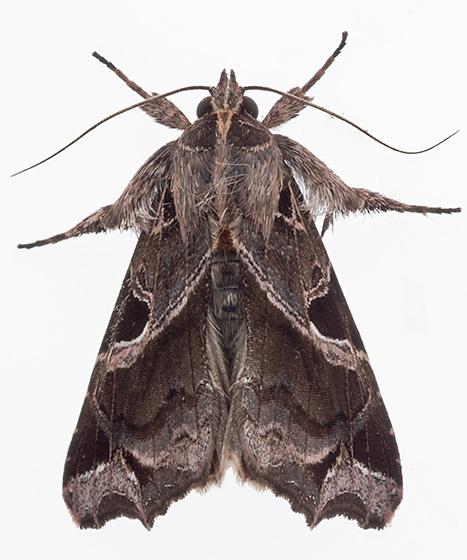 Moth - Callopistria floridensis