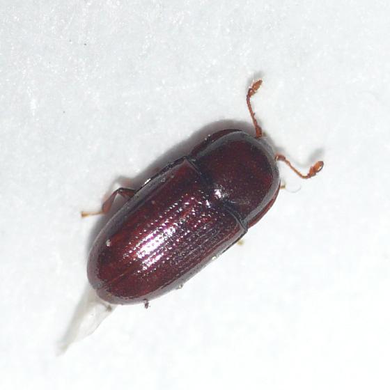 Minute bark beetle (Cerylonidae) - Philothermus glabriculus