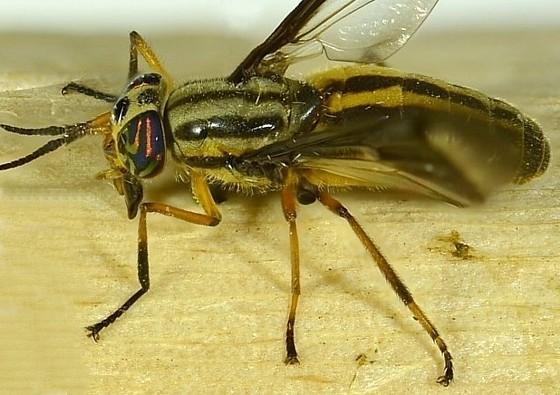 Chrysops beameri - Chrysops pikei - female