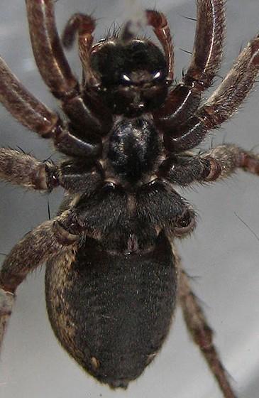 Wild Spider - Hogna frondicola - female