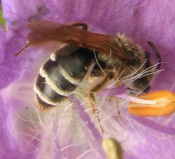 Bee 3 in WV - Andrena nasonii - female