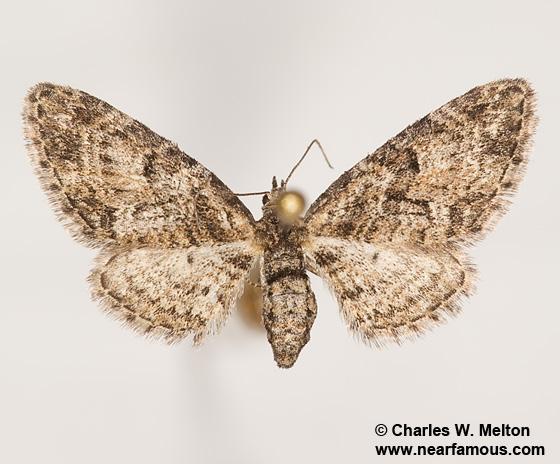 Eupithecia piccata 7502 - Eupithecia piccata