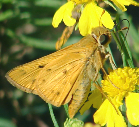 Butterfly - Hylephila phyleus