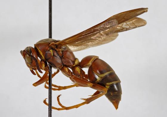 Polistes undescribed species A - Polistes hirsuticornis - female