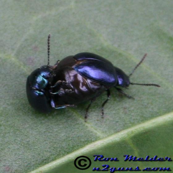 Green Dock Beetle - Gastrophysa cyanea - male - female