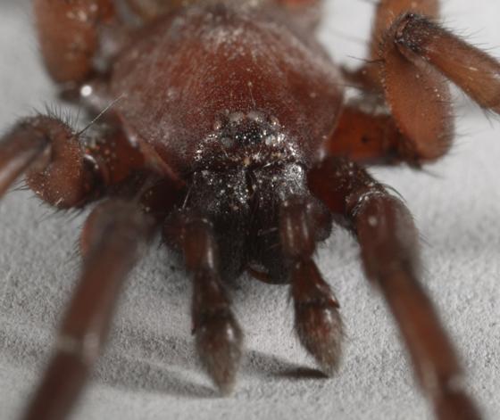 Gnaphosid - male