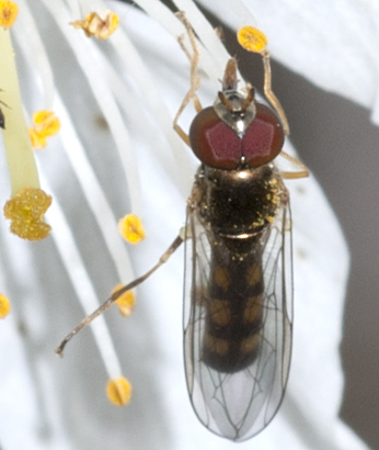 Syrphid Fly - Melanostoma mellinum - male