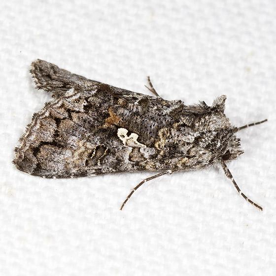 Dusky Silver Y - Hodges#8926 - Syngrapha octoscripta
