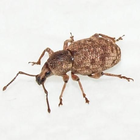 Otiorhynchus sp. - Otiorhynchus singularis