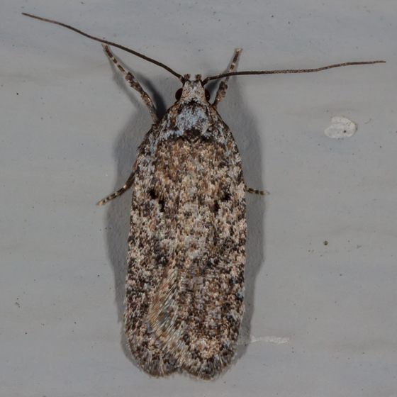 Unknown Moth - Agonopterix