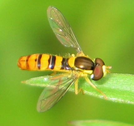 dot-tailed flower fly - Sphaerophoria - male