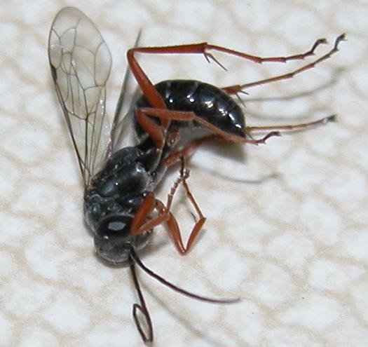 I sting-- Am I a wasp or ant? - Ageniella
