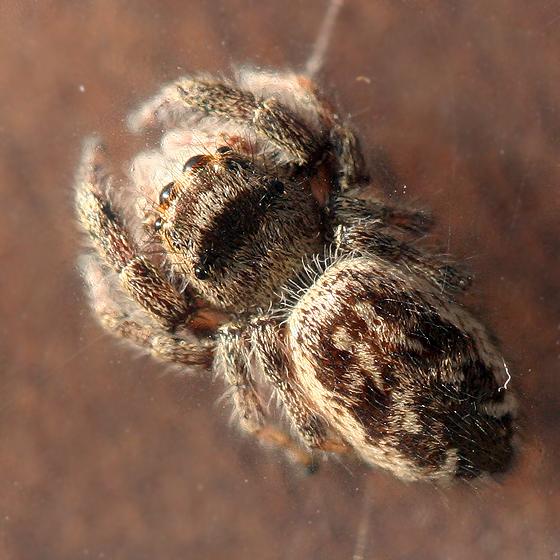 female jumper - Phanias albeolus - female