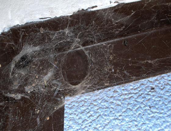 Western Black Widow Web - Latrodectus hesperus