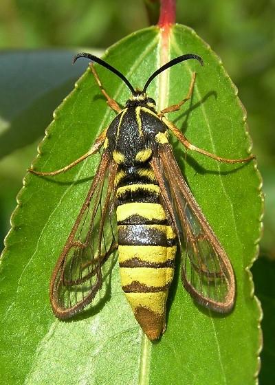Poplar Clearwing Borer - Sesia tibiale - female