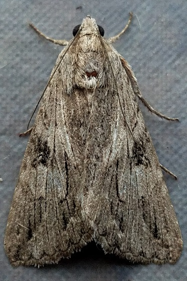 Melipotis jucunda (Merry Melipotis) - Melipotis jucunda