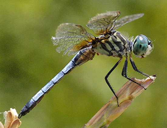 Dragonfly - Pachydiplax longipennis - male