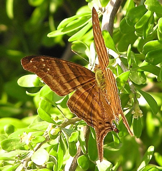 Many-banded Daggerwing - Marpesia chiron