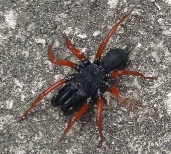 Red Leg Spider