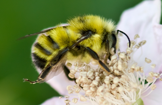 Bright Yellow Bumble Bee - Bombus flavifrons - male
