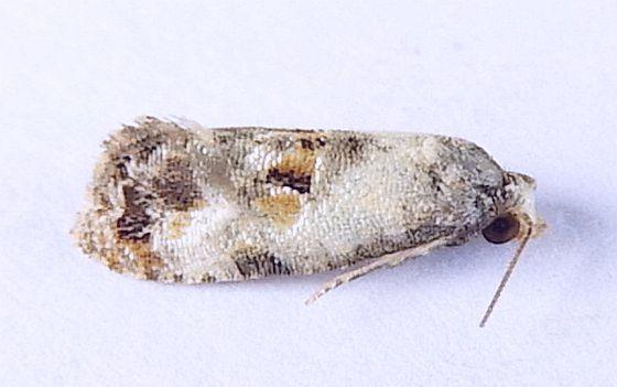 Pennsylvania Moth - Cochylichroa hoffmanana