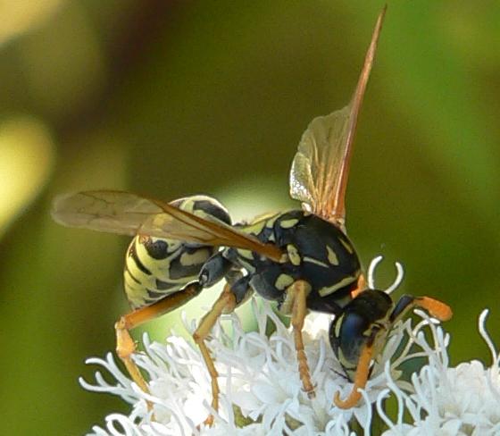 European Paper Wasp - Polistes dominula