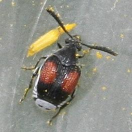 small beetle - Megacerus discoidus