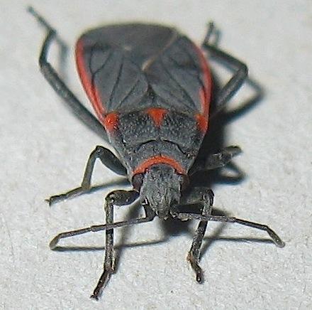 Lygaeid Seed Bug - Melacoryphus lateralis