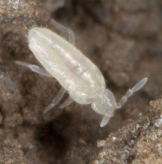 Springtail IMG_6436 - Pseudosinella rolfsi