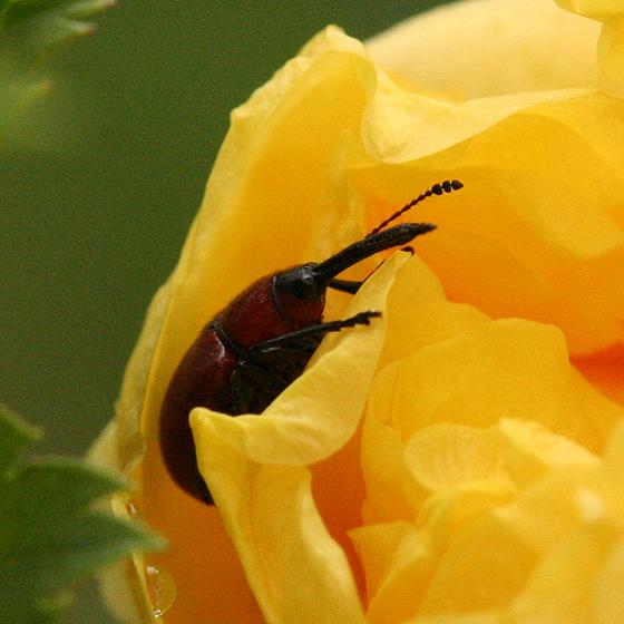 Rose Curculio - Merhynchites bicolor
