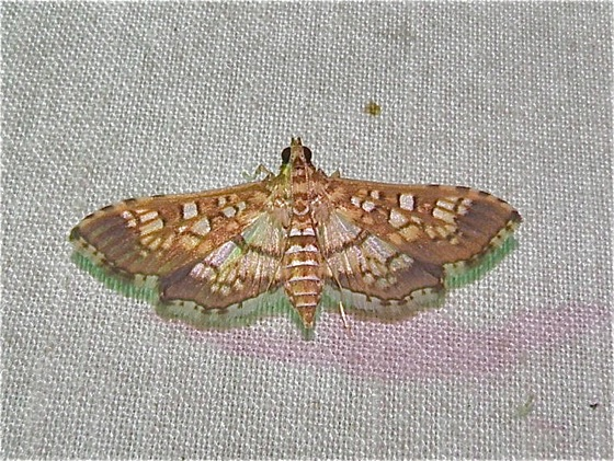 Brown & White Moth - Samea ecclesialis