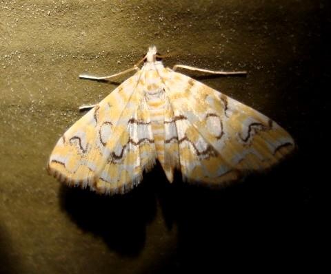 Pondside Pyralid Moth - Hodges #4748 (Munroessa icciusalis) - Elophila icciusalis